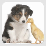 Border collie puppy (6 weeks old) playing with square sticker