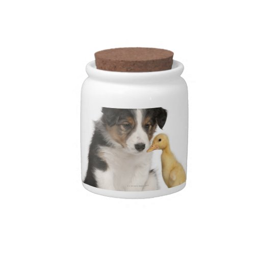 Border collie puppy (6 weeks old) with duckling candy jars