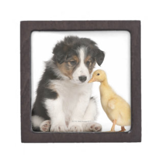 Border collie puppy (6 weeks old) with duckling gift box