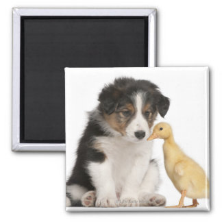 Border collie puppy (6 weeks old) with duckling magnet