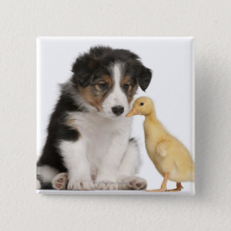 Border collie puppy (6 weeks old) with duckling pinback button