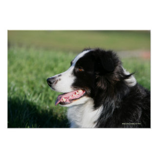 Border Collie Puppy Laying Down Poster