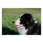 Border Collie Puppy Laying Down Print