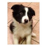 Border Collie Puppy Postcard