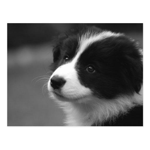 Border Collie Puppy Postcards