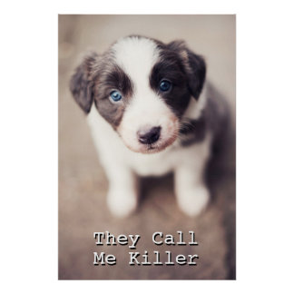 Border Collie Puppy With Blue Eyes Poster