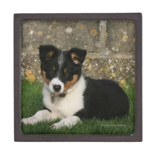 Border Collie Puppy with Leaf in Mouth Gift Box