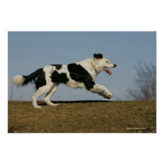 Border Collie Running 2 Poster