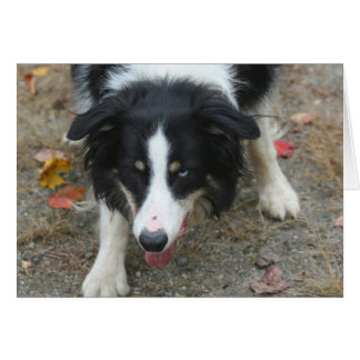 Border Collie Stare Dog Card