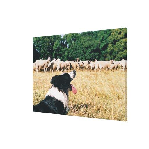 Border Collie Watching Sheep Canvas Print