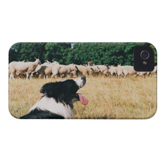 Border Collie Watching Sheep Case-Mate iPhone 4 Case