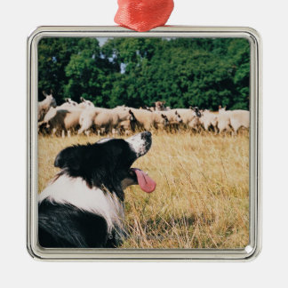 Border Collie Watching Sheep Christmas Ornament