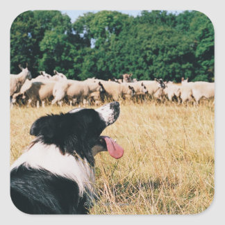 Border Collie Watching Sheep Square Sticker