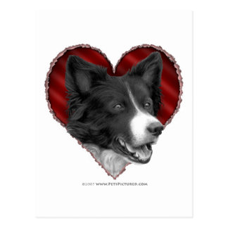 Border Collie with Heart Postcard