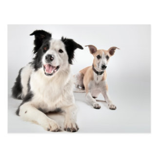 Border collie with whippet postcard