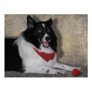 "Border Collie ""Wylie"" Postcard"