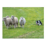 Border collie y ovejas postales