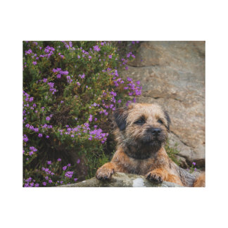 Border Terrier Dog In Wild Heather Canvas Prints
