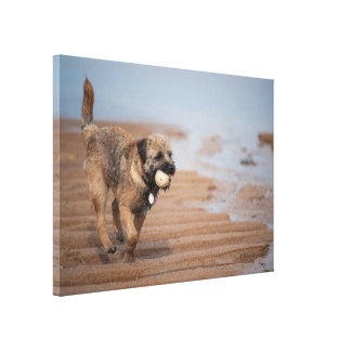 Border Terrier With Ball On The Beach Canvas Print