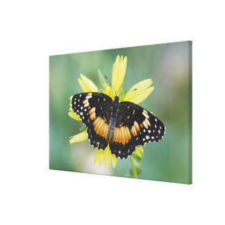 Bordered Patch, Chlosyne lacinia, adult on Canvas Print