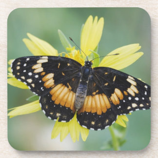 Bordered Patch, Chlosyne lacinia, adult on Drink Coaster