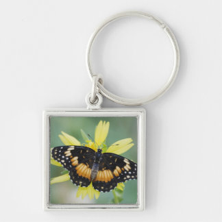 Bordered Patch, Chlosyne lacinia, adult on Key Chains