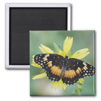 Bordered Patch, Chlosyne lacinia, adult on Magnets