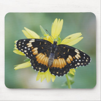 Bordered Patch, Chlosyne lacinia, adult on Mouse Pad