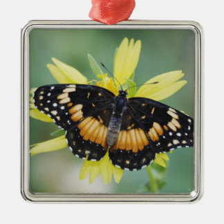 Bordered Patch, Chlosyne lacinia, adult on Christmas Ornaments