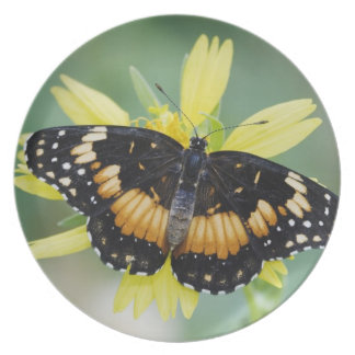 Bordered Patch, Chlosyne lacinia, adult on Party Plate