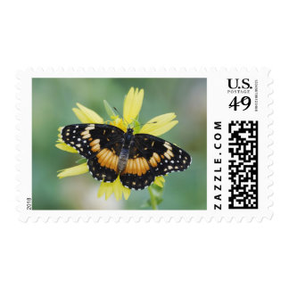 Bordered Patch, Chlosyne lacinia, adult on Postage Stamp