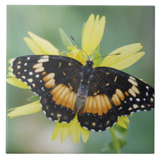 Bordered Patch, Chlosyne lacinia, adult on Tiles