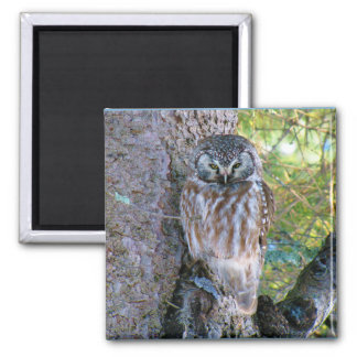 Boreal Owl Closeup Photo Magnet