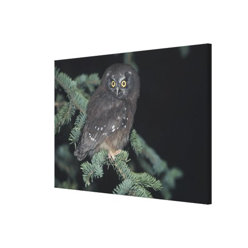 Boreal Owl on Branch Gallery Wrapped Canvas