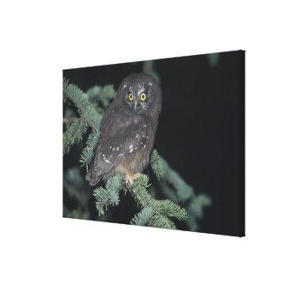 Boreal Owl on Branch Canvas Print