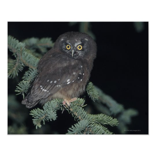 Boreal Owl on Branch Poster