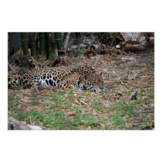 bored florida jaguar lying down big cat poster