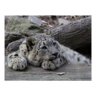 Bored Snow Leopard Cub Poster