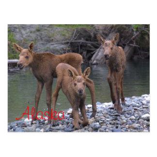 Born In Alaska Postcard