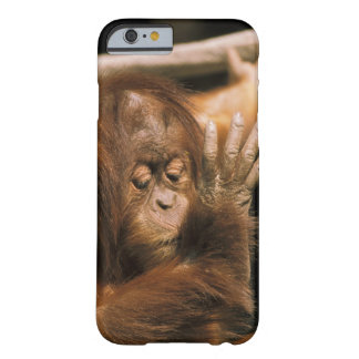 Borneo. Captive orangutan, or pongo pygmaeus. Barely There iPhone 6 Case