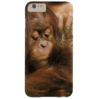 Borneo. Captive orangutan, or pongo pygmaeus. Barely There iPhone 6 Plus Case
