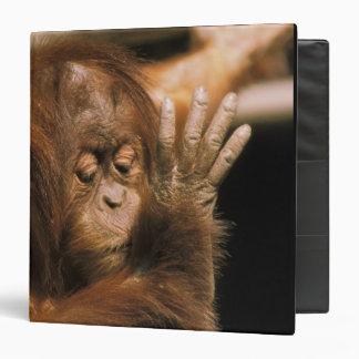 Borneo. Captive orangutan, or pongo pygmaeus. Vinyl Binder