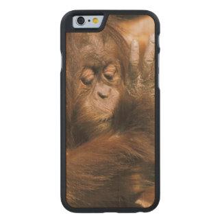 Borneo. Captive orangutan, or pongo pygmaeus. Carved® Maple iPhone 6 Case