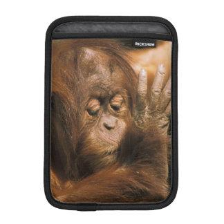 Borneo. Captive orangutan, or pongo pygmaeus. iPad Mini Sleeves
