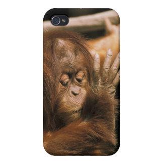 Borneo. Captive orangutan, or pongo pygmaeus. iPhone 4 Cover