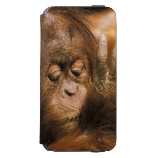 Borneo. Captive orangutan, or pongo pygmaeus. iPhone 6/6s Wallet Case