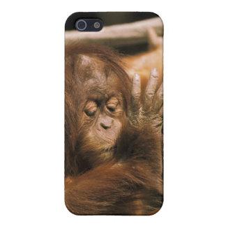 Borneo. Captive orangutan, or pongo pygmaeus. iPhone SE/5/5s Cover