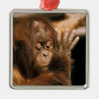 Borneo. Captive orangutan, or pongo pygmaeus. Metal Ornament