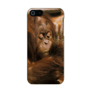 Borneo. Captive orangutan, or pongo pygmaeus. Metallic Phone Case For iPhone SE/5/5s