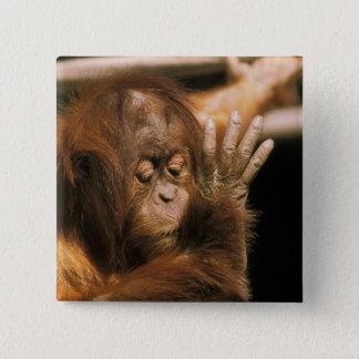 Borneo. Captive orangutan, or pongo pygmaeus. Pinback Button